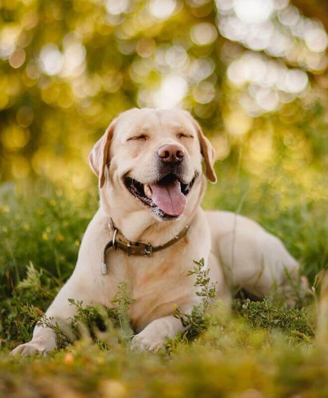 Labrador-Retriever-1