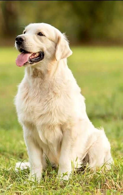 Labrador-Retriever-3