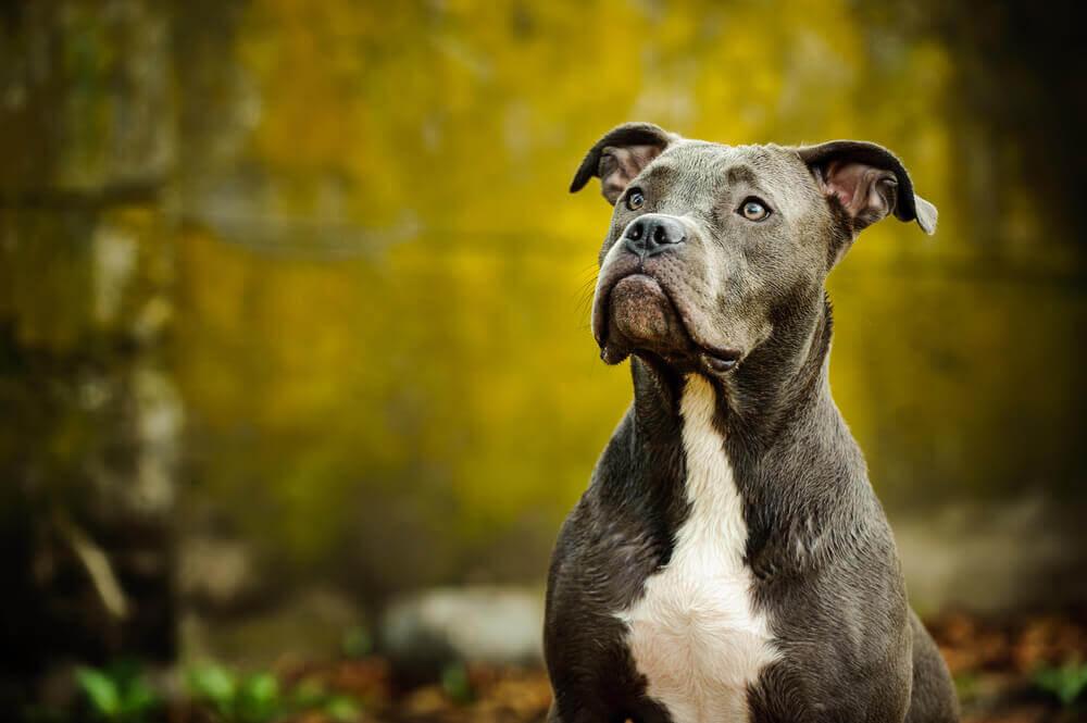 American-Pit-Bull-Terrier-1