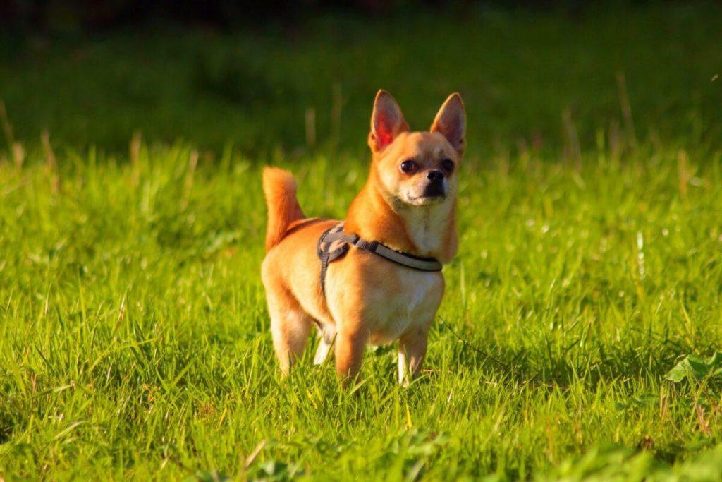 Cani piccoli - Elenco di Migliori 37 cani di piccola taglia!