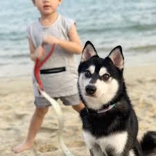 Alaskan Klee Kai in spiaggia con un bambino