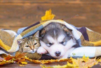 Alaskan Klee Kai con un gatto