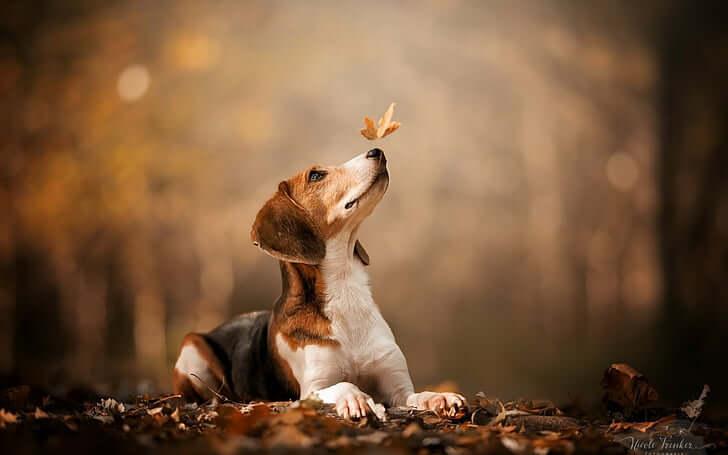 Beagle - Tutto su questa piccola razza di cane da caccia