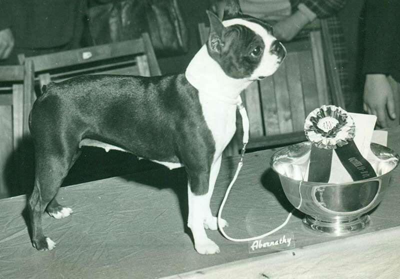 Boston Terrier storia