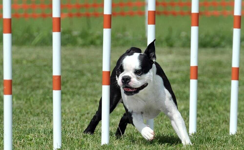 Boston Terrier che gioca