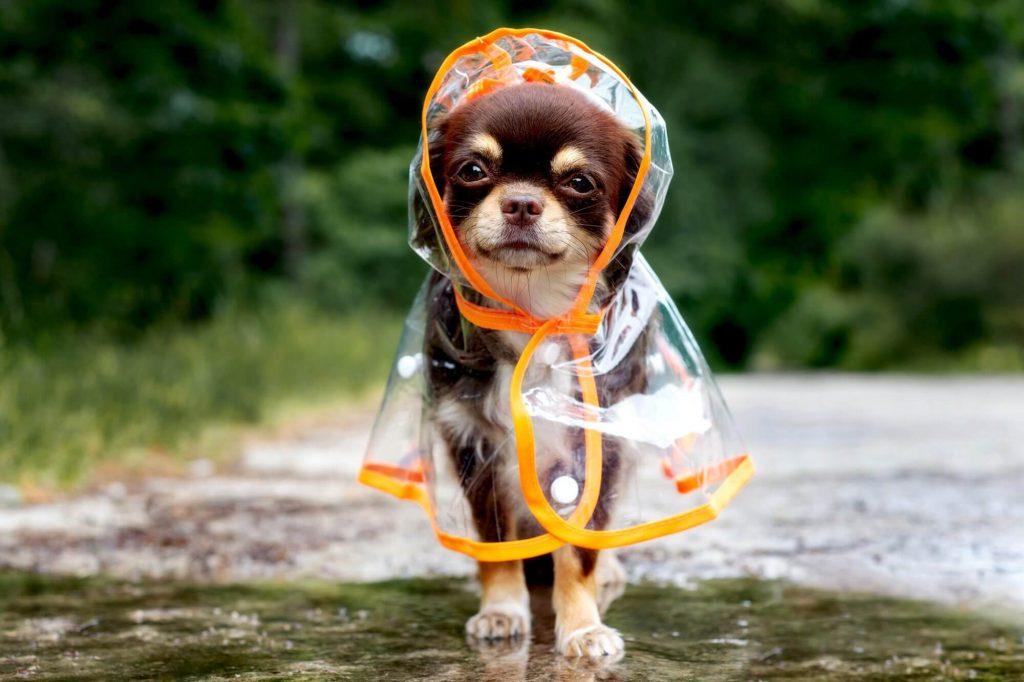 Chihuahua – la razza di cane lunatico