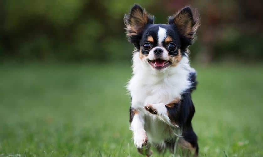 Chihuahua- Features, characteristics and temperament