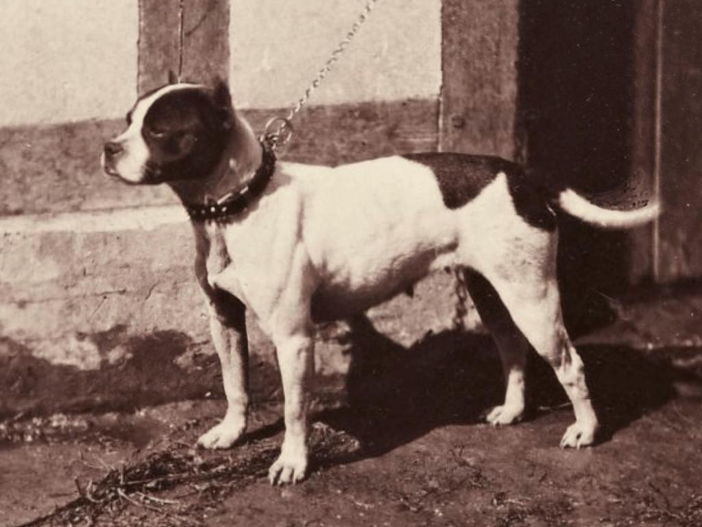 Bulldog Americano History