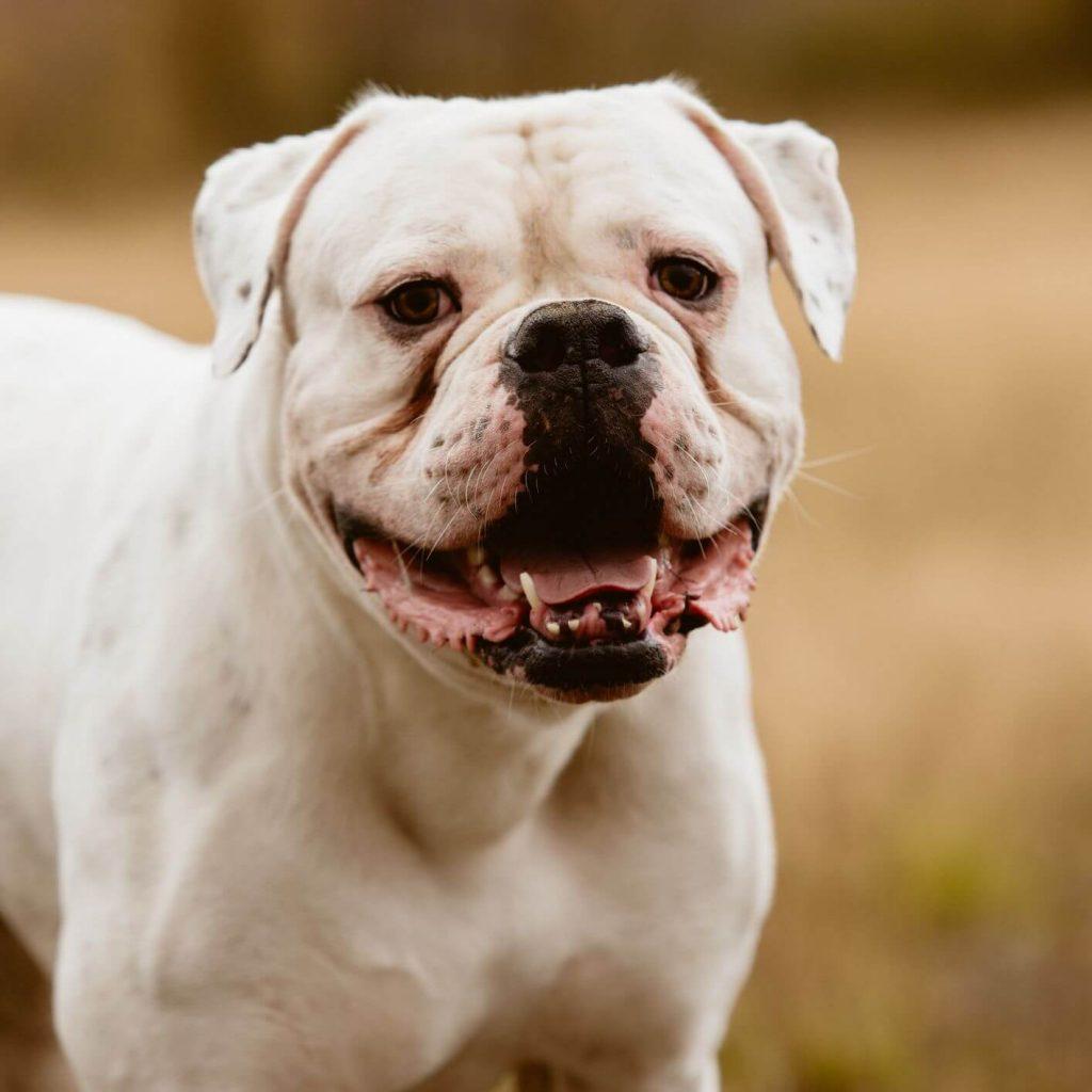 Bulldog Americano Personalità